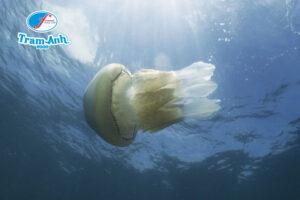 sứa biển Trâm Anh Food